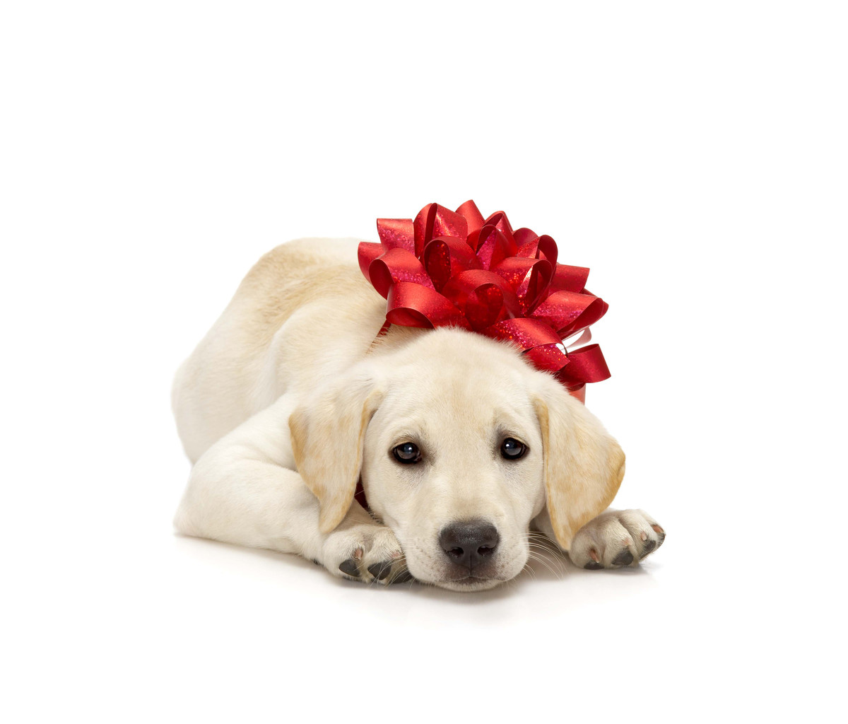 Do Not Give Pets As Gifts This Christmas Tshwane Spca